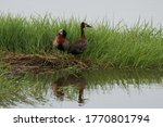 White Faced Whistling Duck...