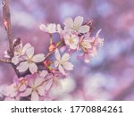 Cherry Purple Background Branc...