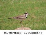 killdeer bird perched on a rock