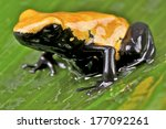 Small photo of Splash backed dart frog / Adelphobates galactonotus