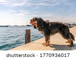A Dog Stands At A Pier...