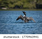 A Loon Splashes Water And...