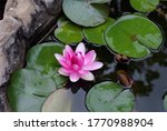 A Large Water Lily Blooms In A...