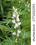 Flowers Of White Lupin Or Fiel...