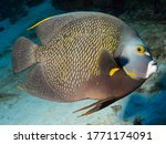 Gray Angelfish  Grey Angelfish...