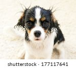wet funny dog after taking a... | Shutterstock . vector #177117641