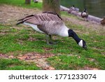 Large Canadian Geese  Branta...
