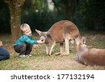 A Young Boy Feeds A Kangaroo I...