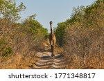 Giraffe Crosses The African...