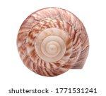 Fairyland Snail. Large Japanese ...