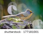 beautiful brown bird ... | Shutterstock . vector #177181001