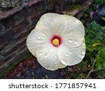 A Beautiful White Hibiscus...