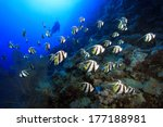 Shoal of longfin bannerfish in the tropical waters of the red sea  - stock photo