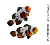 Black Ice Clown Fish Amphiprion