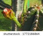 The Upcoming Flowering Of A...