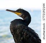 Wild Cormorant Resting On The...