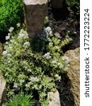 Decorative Blooming Thymus...