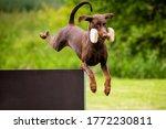 Brown Doberman Jumps Over An...