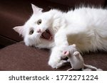White Cat Plays With A Toy...