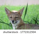 Closeup On A Pampas Fox's Face...