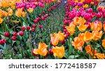 Beautiful Tulip In Seattle ...