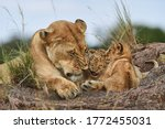 Lioness With Her Cubs And...