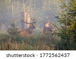 Two Majestic Red Deer  Cervus...