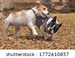 Jack Russell Terrier And French ...