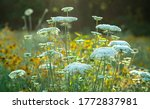 Queen Anne's Lace Flowers ...