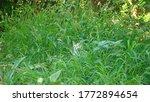 Cat cat hidden among grass for...