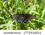 Dorsal View Of An Eastern Black ...