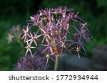 Close Photo Of Purple Stars Of...