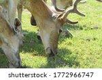 Fallow Deers In A Farm.