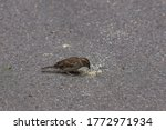 Sparrow Collects Bread Crumbs...