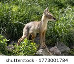 Corsac Fox Corsac  Vulpes...