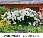 Annabelle Hydrangea Plant With...