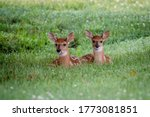 Two White Tailed Deer Fawns...
