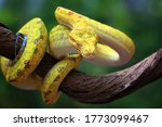 Yellow Tree Python Snake On...