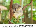 Koala Bear Nap On Tree Branch....