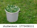 Nettle In A Bucket On Green...