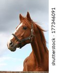 Stock photo head shot of a beautiful chestnut stallion at farm 177346091