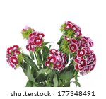 Pink Flowers Of Dianthus...