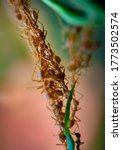 Cooperation Of Weaver Ants ...