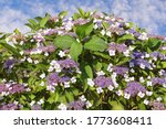 Flowering Shrub Of Hydrangea  ...