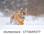 Tiger  Cold Winter In Taiga ...