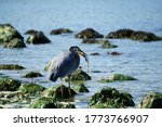 The Pacific Grey Blue Heron ...