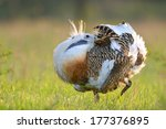 great bustard royalty free...