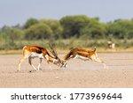 Two Male Blackbuck Fighting In...