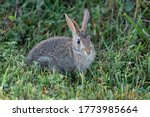 Young Cottontail Rabbit In Tal...
