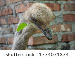 Ostrich Bird Portrait. Animals...